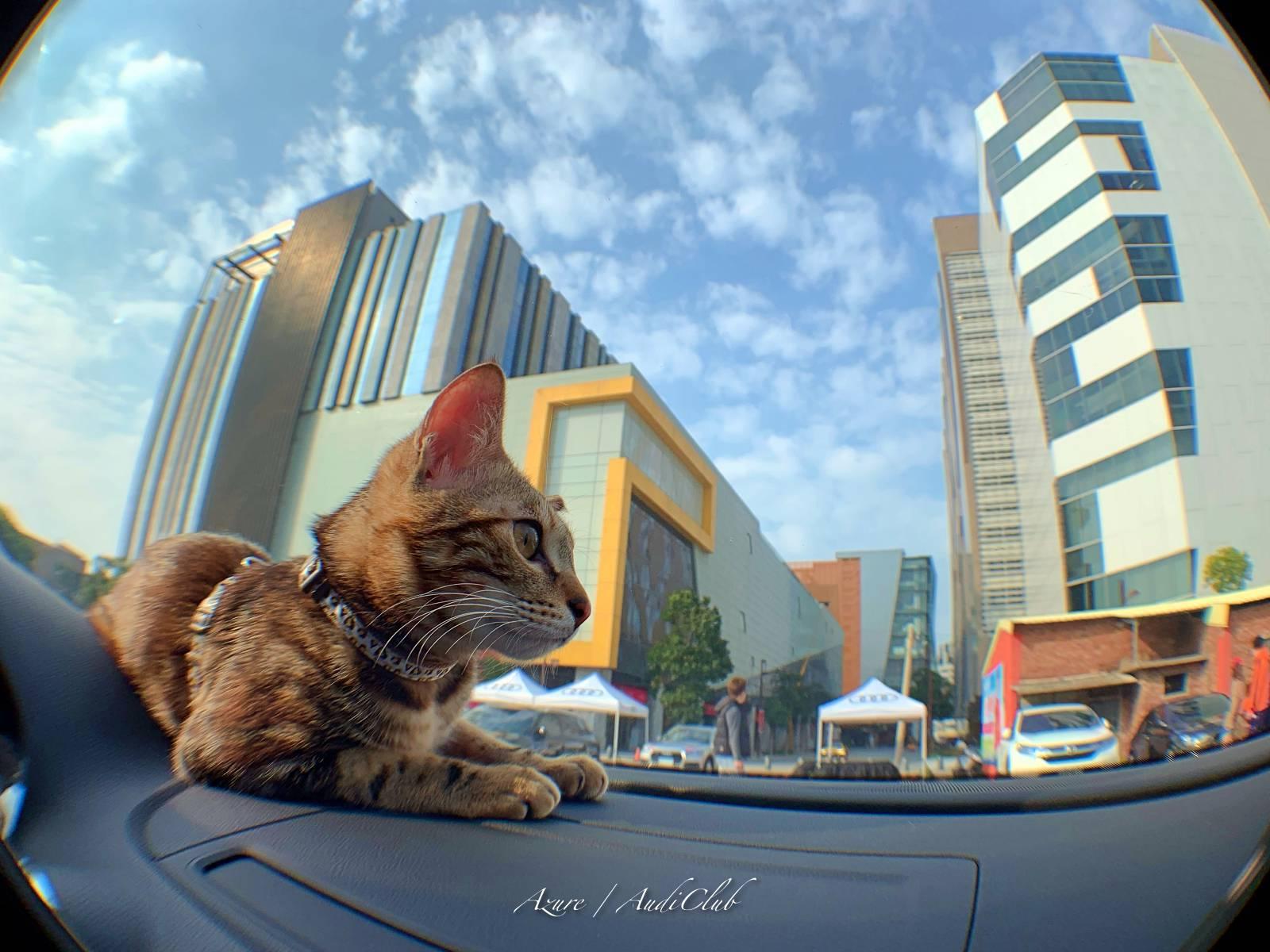 cat in car 貓咪在車裡